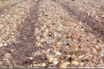 Campo de cebollas